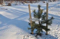 Zaailing van Kerstmisboom Royalty-vrije Stock Afbeeldingen