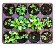 Zaailingen in de lente Bloemzaailing Geïsoleerd op wit Royalty-vrije Stock Afbeelding