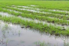 Zaailingen de rijst Stock Fotografie