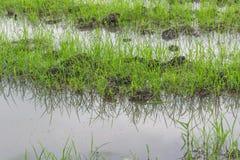 Zaailingen de rijst royalty-vrije stock foto