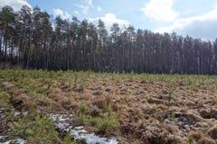 Zaailingen dichtbij aan het rijpe bos Stock Fotografie
