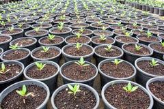 Zaailingen, die bloem de planten bereiden gezond voor, alvorens als n te planten Stock Foto's
