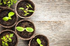 Zaailingen die in de potten van het turfmos groeien Stock Afbeelding