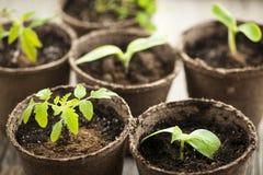 Zaailingen die in de potten van het turfmos groeien Stock Foto