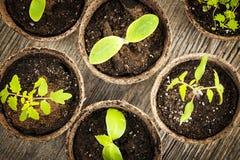 Zaailingen die in de potten van het turfmos groeien Royalty-vrije Stock Afbeeldingen