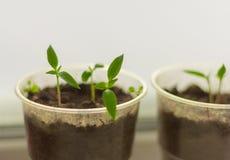 Zaailingen, jonge spruiten van peper stock fotografie
