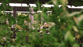 Zaailingen in serre Rijen van ingemaakte zaailingen in broeikas stock video