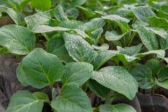 De zaailingen van aubergines Stock Foto