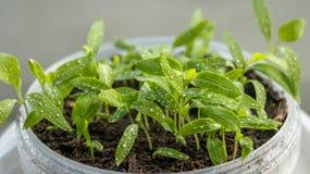 Zaailingen van aubergine, tomaten en peper die in een transparante container op het venster in de aarden grond in een Zonnige dag Royalty-vrije Stock Foto's