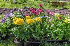 Zaailingen van diverse bloemen in plastic dienblad vóór bed Royalty-vrije Stock Fotografie