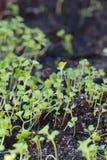 Zaailingen van groenten ter plaatse Stock Foto