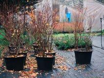 Zaailingen van highbushbosbes in aanplanting in de herfst stock afbeelding