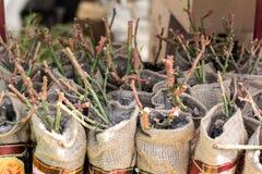 Zaailingen van jonge rozen in een winkelvenster in een tuinmarkt Een grote selectie van installaties in potten, verkoop royalty-vrije stock foto