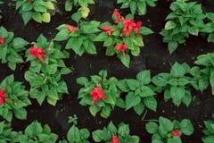Zaailingen van kleine rode bloemen in zwarte grond de tuinman kweekt bloemen royalty-vrije stock foto