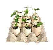 Zaailingen van komkommers in de eierschalen Stock Afbeeldingen