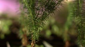 Zaailingen van naalddiebomen van zaden worden gekweekt Jonge spruiten Installatie het Groeien stock footage