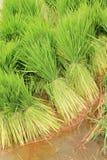 Zaailingen van rijst Stock Foto