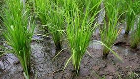 Zaailingen van rijst stock videobeelden