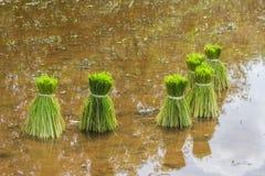 Zaailingen van rijstlandbouw in padievelden Stock Foto's