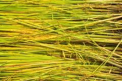 Zaailingen van rijstlandbouw in padievelden Stock Fotografie