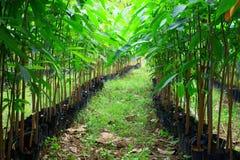 Zaailingen van rubberbomen op een aanplanting Royalty-vrije Stock Foto