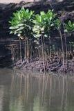 Zaailingen van zwarte mangrovebomen in Umlalazi Stock Foto's
