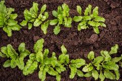 Zaailingsbiet het groeien in een transparante container op het venster in de aarden grond in een Zonnige dag voor het planten in royalty-vrije stock fotografie