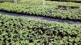Zaailingskinderdagverblijf, Jonge planten die in een serre groeien stock footage