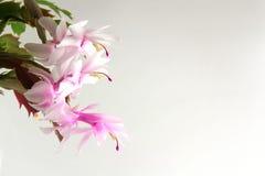 Zaal bloem op een lichte achtergrond Royalty-vrije Stock Foto