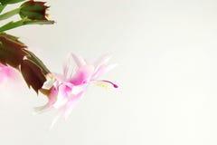 Zaal bloem op een lichte achtergrond Stock Afbeelding