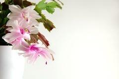 Zaal bloem op een lichte achtergrond Royalty-vrije Stock Fotografie