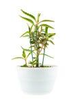 Zaal bloem in witte bloempot Stock Fotografie