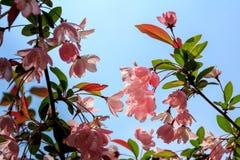 Zaal crabapple bloem stock afbeelding