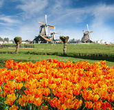 Zaanse Schans. Windmills with orange tulips in the foreground against the sky. Zaanse Schans, Netherlands stock images