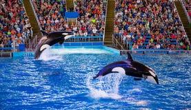 zabójców wielorybów wykonywać Obraz Stock
