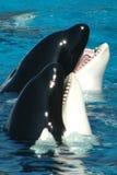 zabójców wieloryby Obraz Stock