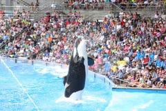 Zabójców wieloryby Obrazy Stock