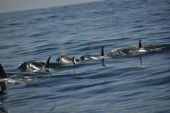Zabójców wieloryby Zdjęcia Stock