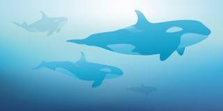 Zabójców wieloryby pływają na powierzchni ocean royalty ilustracja