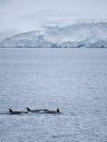 Zabójców wieloryby w Antarktycznym Nawadniają Fotografia Royalty Free