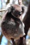 zabójca koala Zdjęcie Stock