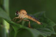Zabójca komarnica Zdjęcie Royalty Free