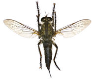 Zabójca komarnica na białym tle Obrazy Stock