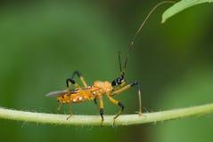 zabójca robaki makro żółty Fotografia Royalty Free
