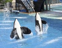 zabójcy oceanarium para wykonuje przedstawienie wieloryba zdjęcie stock