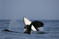 zabójcy samiec dwa wieloryb Fotografia Royalty Free