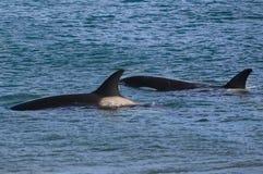 Zabójcy wieloryb, orka, Obrazy Royalty Free