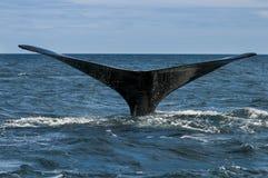 Zabójcy wieloryb, orka, Zdjęcia Royalty Free