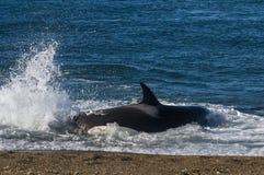 Zabójcy wieloryb, orka, Obraz Stock