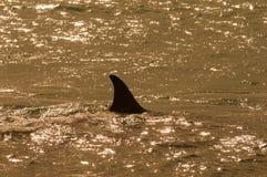 Zabójcy wieloryb, orka, Obraz Royalty Free